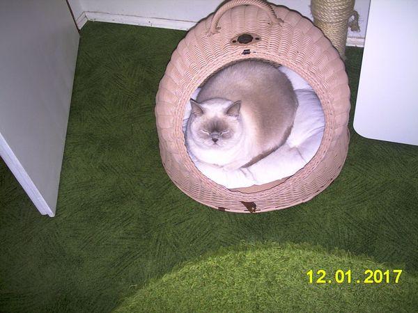Britisch Kurzhaar / BKH » Katzen