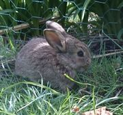 Zwergkaninchen Kaninchen suchen