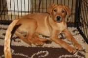Labrador Welpen Blond und Foxred