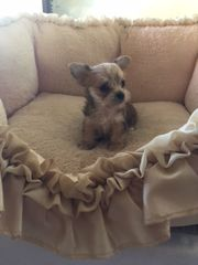 Yorkshire Terrier/ Chihuahua (