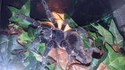 Suche Weibliche Vogelspinnen