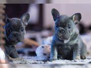 süßes französische bulldoggen