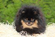 Süßer Pomeranian Rüde