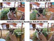 4 Süsse Chihuahuawelpen