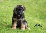 Altdeutsche Schäferhund / zwei