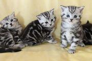 BKH Kitten Silber Tabby Classic