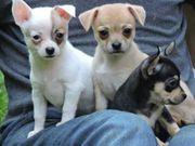 Süße verschmuste Chihuahua