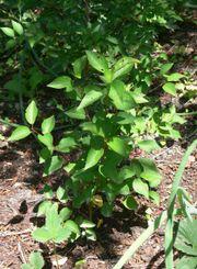 Wildpflaumen-Bäume Kricherl klein bis groß