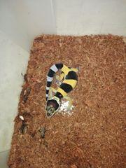 Leo-Geckos