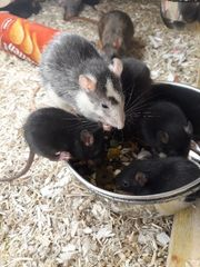 Ratten abzugeben aus