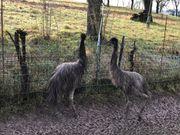 Emu Jungtiere