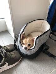 Chihuahua Welpe Langhaar (