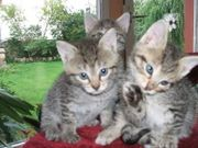 BKH-Mix Kätzchen