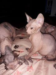 Don Sphynx Katzenbabys