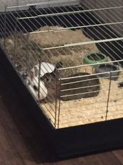 zwei Kaninchen Böcke
