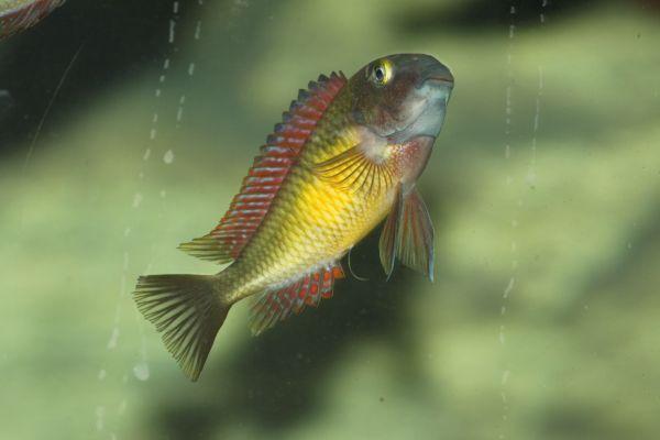 Tropheus Moorii Red » Fische, Aquaristik