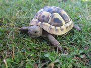 Griechische Landschildkröten-Testudo hermanni boettgeri NZ