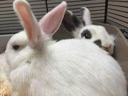 Kaninchen, 13 Wochen