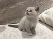 Thai-Siam Mix- Heilige Birma Kitten