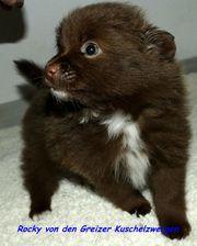 Zwergspitz Pomeranian Babys