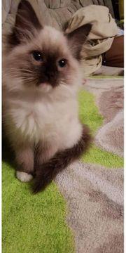 süsse Ragdoll Kitten