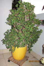 Geldbaum - Pfennigbaum -Crassula ovata