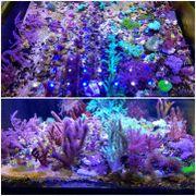 Korallenableger Korallen Meerwasser