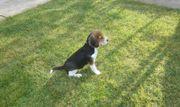 Beagle Mädchen zum