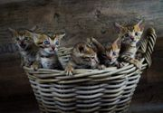 Bengal kitten suchen Zuhause