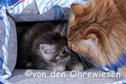 Norwegische Waldkatzen - in der Farbe