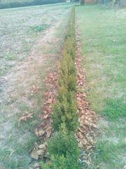 150 Stk Buchsbäume 25-40 cm