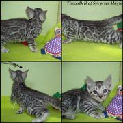Traumhafte Bengal Kitten !