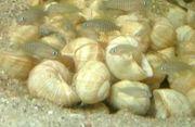 Kolonie Neolamprologus multifasciatus Schneckenbarsch Tanganjika