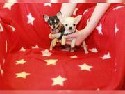 Extra Mini Chihuahua Mädchen und