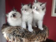 Ragdoll Babys ,Kitten