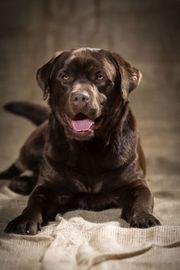 Schicke Labradorwelpen mit Stammbaum in