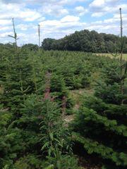 Weihnachtsbäume zu verkaufen