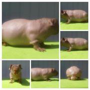 Skinny Pig Meerschweinchen
