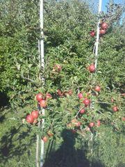 Verkaufe Obstbäume - Apfelbäume - Birnenbäume