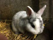 Farbenzwerg-Kaninchen, rhönfarbig