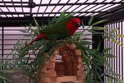 rotköpfige Papageimadinen