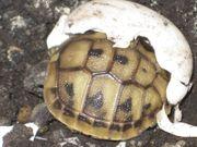 Griechische Landschildkröte (THB)