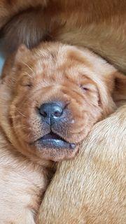 Labradorwelpen reinrassig mit Papieren in