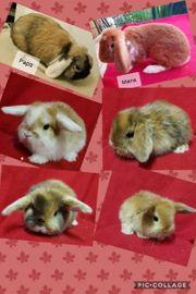 Bunte Widder Kaninchen