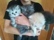 Perser Kitten geimpft und entwurmt