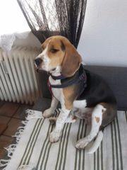 Sehr schoener Beagle (