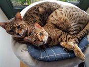 Katze 2 Bengalkatzen