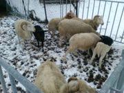 Kleine Schafherde