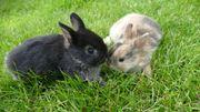 Zwergkaninchen Zwergwidder Kaninchen