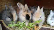 Kaninchen Löwenköpfchen Zwergkaninchen